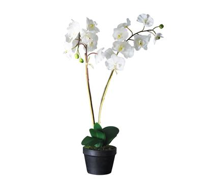 Double Stem Orchids