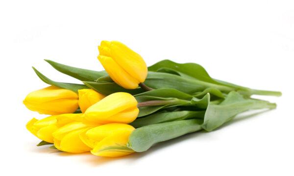 Yellow Tullips